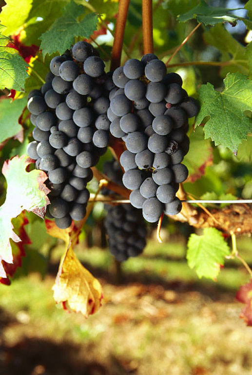 carmenere_grape