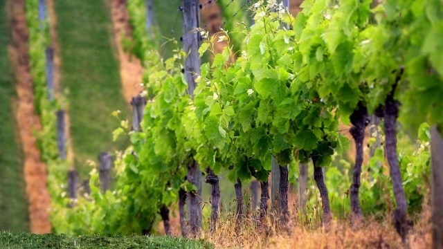 grape_plantation-1280x720.jpg