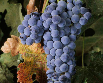 merlot-grapes-guide