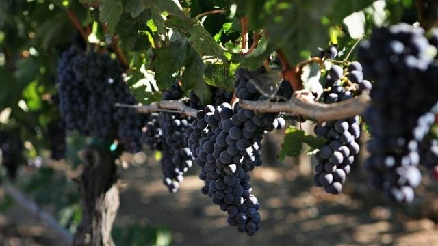 pinot-noir-1-1024x683-1040x585.jpg