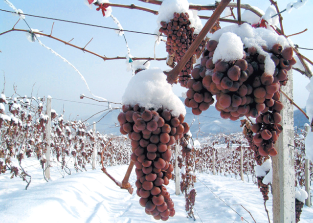 Grapes-Used-In-Ice-Wine-Recipe.png
