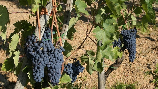 Sangiovese Grosso grape and vineyards, clone of Sangiovese, the grape to make the Brunello wine.jpg