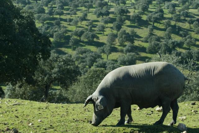 cerdo-ibérico.jpg